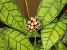 _____ Zielona Przystań Lulu ______: Kwitnienie/2013 - hoya callistophylla - debiut