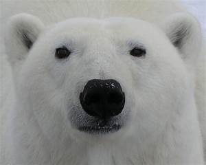 polar bear face printable new calendar template site With polar bear face template