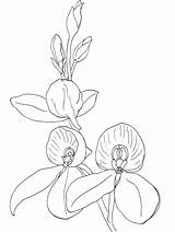 Orchid Disa Coloring Roses Kewensis Pages Flower sketch template