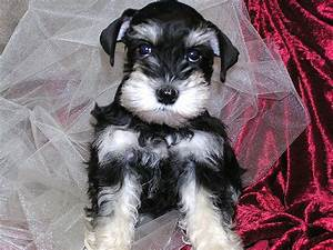 Black and Silver Female mini Schnauzer puppy, what an ...