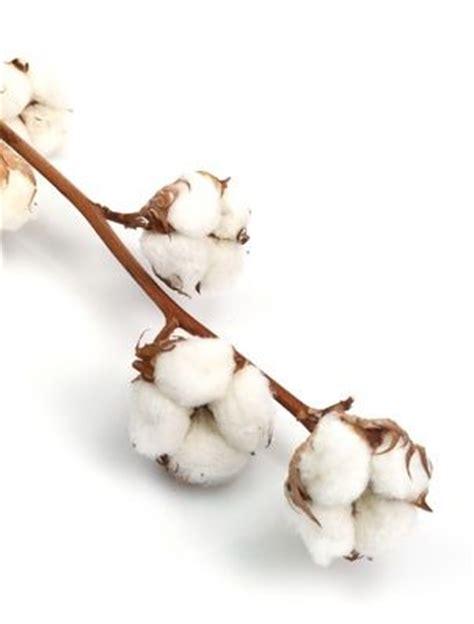 fleur de coton recherche google b pinterest search