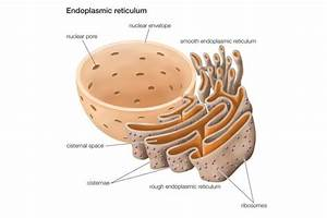 Cell Model And Structure Of The Endoplasmic Reticulum