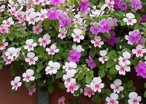 Blumen Für Schatten : impatiens walleriana 39 butterfly eye 39 flei iges lieschen ~ Lizthompson.info Haus und Dekorationen