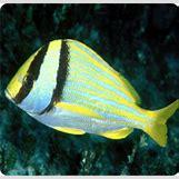 Reef Triggerfish | 242 x 232 jpeg 105kB