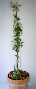 Apfelbaum Für Balkon : apfelbaum im fass dein kleiner obstgarten auf kleiner fl che ~ Michelbontemps.com Haus und Dekorationen