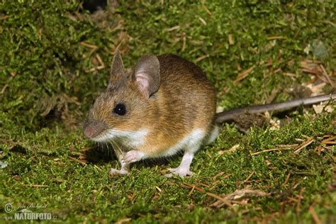 pictures of mice yellow necked field mouse photos yellow necked field mouse images nature wildlife pictures