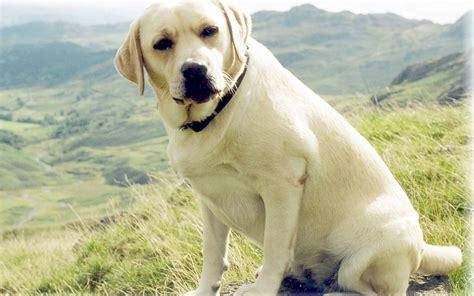 Do Miniature Shar Pei Shed by Labrador Retriever Temperament Bunkblog