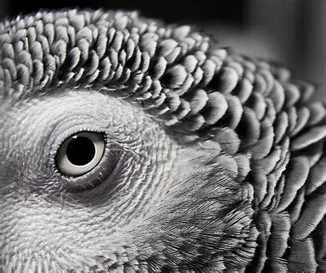 Fileafrican Grey Parrotmacro2jpg  Wikimedia Commons