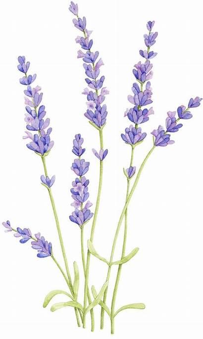 Aquarell Malen Besuchen Lavendel Blumen