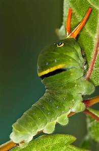 All Of Nature  Tiger Swallowtail Butterfly Caterpillar