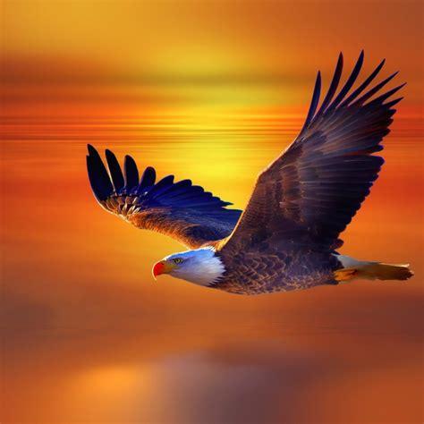 flying eagle hd wallpaper hd latest wallpapers