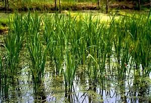 Azolla reduces kuhol damage – study - Philippine Rice ...