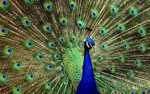 Beautiful Peacock | Wallpaper House