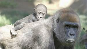 Lights For Liberty San Diego San Diego Zoo 39 S Baby Gorilla Named Joanne Video Abc News