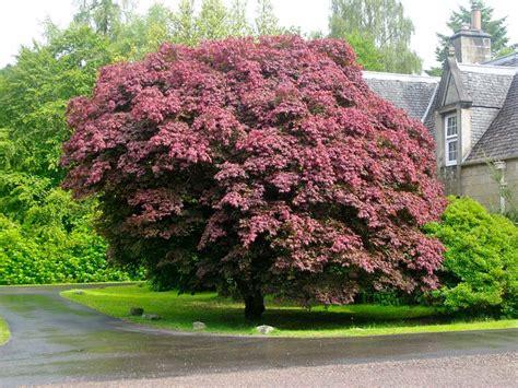 names of maple trees japanese garden plants names acer palmatum atropurpureum japanese garden plants
