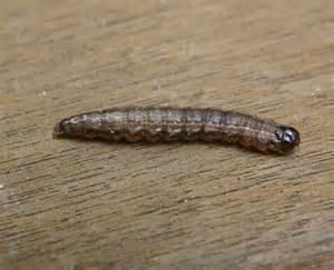 Brown Moth Caterpillar Identification