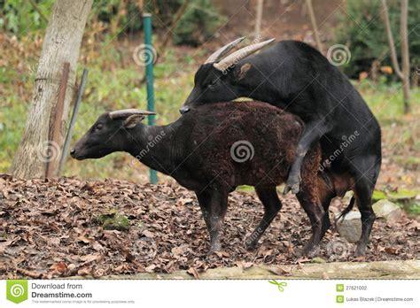 mating lowland anoas stock photo image  mammal midget