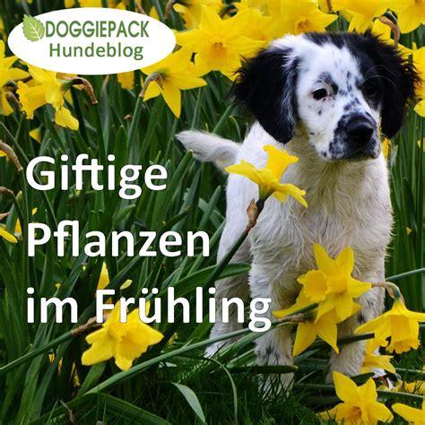 Pflanzen Die Hunde Nicht Mö by Giftige Pflanzen F 252 R Hunde Im Fr 252 Hling