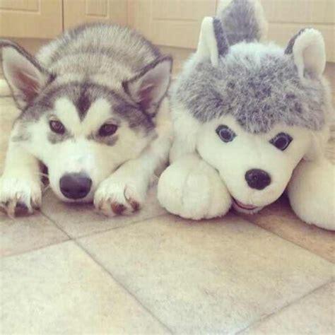 cuales son las razas de perros  mas se asemejan  los