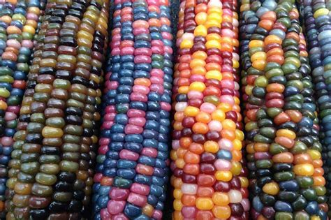 wow rainbow colored corn sprouts in zamboanga city abs