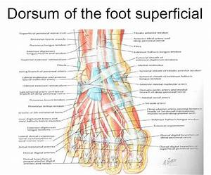 Superficial Aspect Of The Dorsal Foot Including Tendons