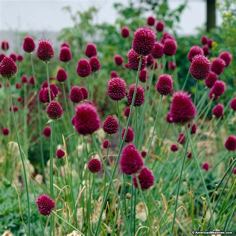allium bulbs purple allium bulbs drumstick allium sphaerocephalon persian onion wv native plants for