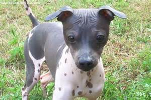 American Hairless Terrier Dog
