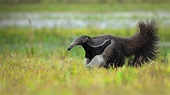 Giant Anteater – Bing Wallpaper Download