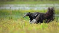 Giant Anteater – Bing Wallpaper Download