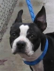Boston Terrier Puppy Adoption