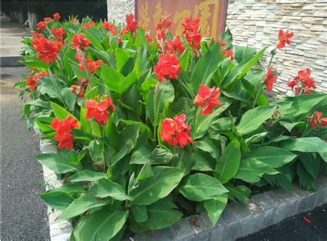 jual tanaman hias bunga kana presiden merah canna lily