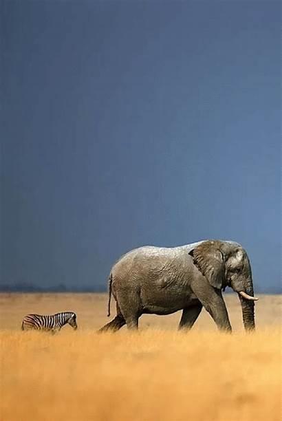 Geographic National Animals Elephant Wildlife African Zebra