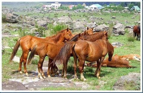 wild horses mpumalanga kaapsehoop rsa africa horse places