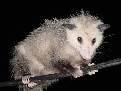 Possum Images Small But Mighty