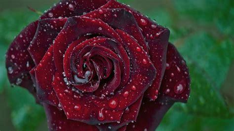 Rose Flower Wallpaper Hd Free Download Red Rose Wallpaper Free Download