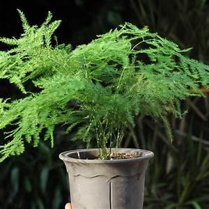 Balcony plant asparagus fern seeds evergreen house plant for Fern house plant seeds