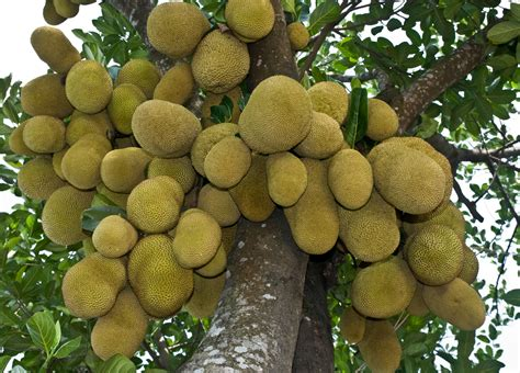 file jackfruit national fruit of bangladesh jpg