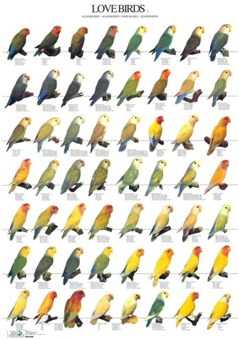 25 best ideas about african lovebirds on pinterest