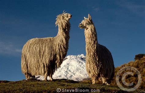 cotopaxi volcano  alpaca suri long haired breed