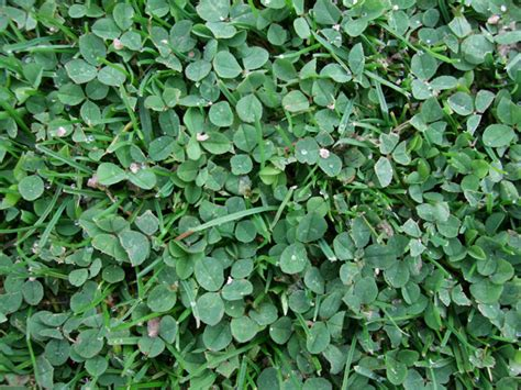 clover like weeds in lawn quotes