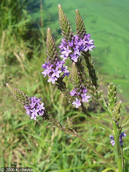 verbena hastata blue vervain minnesota wildflowers
