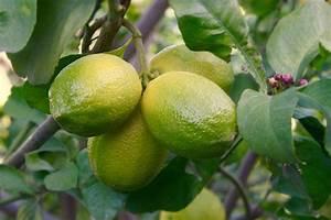 Dünger Für Zitronenbaum : zitronenbaum pflegen alle wichtigen infos ~ Watch28wear.com Haus und Dekorationen