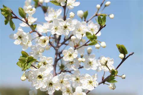 Branch With Beautiful White Cherry Flowers Buds Stock