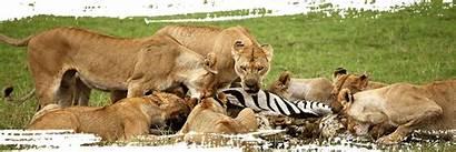 Serengeti National Park African Human Lioness