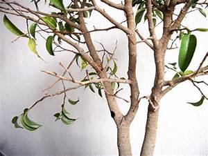 Ficus Bonsai Schneiden : winterschaden am ficus benjamini von maverick ~ Indierocktalk.com Haus und Dekorationen