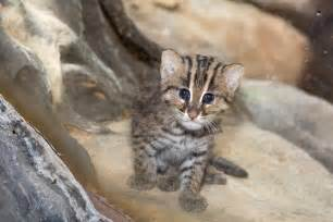 fish for cats denver zoo welcomes a baby fishing cat to the world and