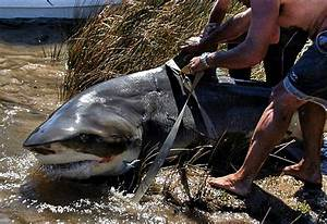 She Is the largest Bull Shark ever Caught,   Kevera