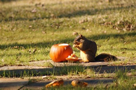 Does Hairspray Keep Squirrels Away From Pumpkins by How To Keep Squirrels From Eating Your Pumpkins
