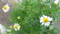 Chamomile (Matricaria chamomilla) Supplier & Exporter ...
