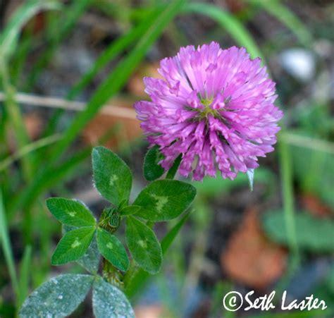weeds with purple flowers purple weed flower seth flickr